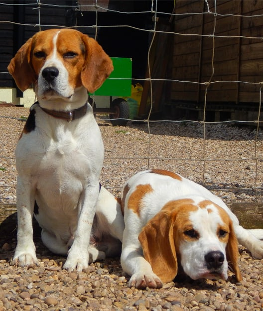 If you find a stray beagle