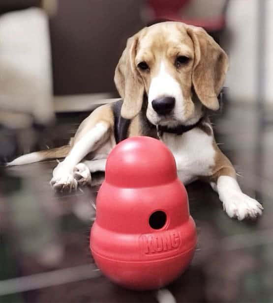 beagle and kong toy
