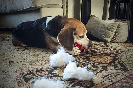 destructive beagle